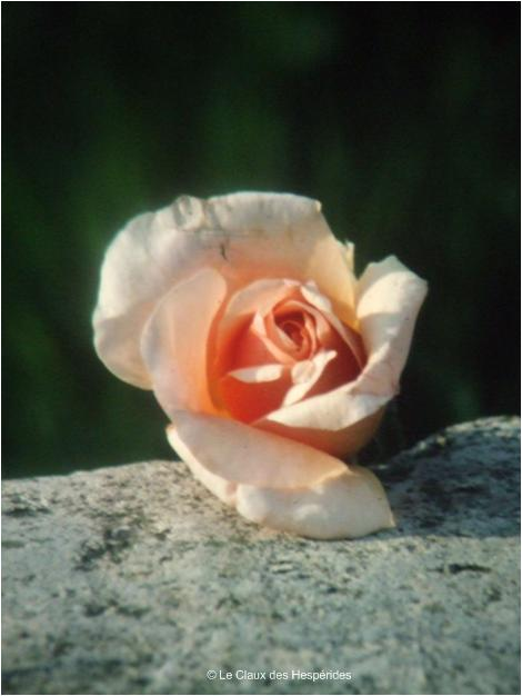 Le Gite des Hesperides : une rose